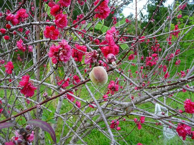 モモの花と実
