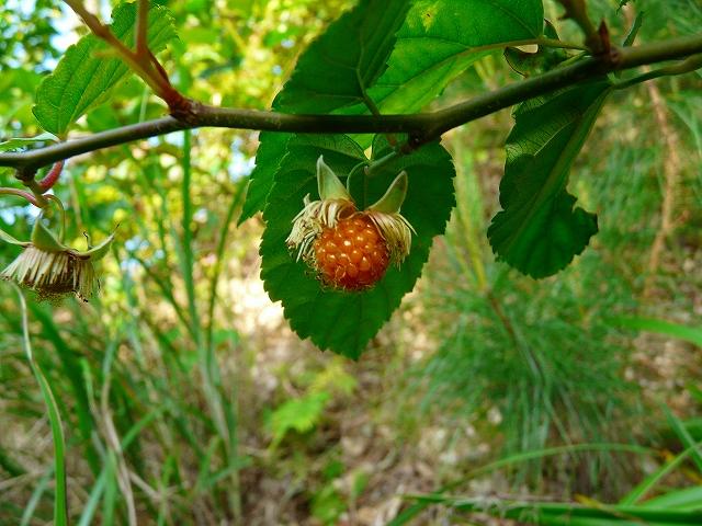 リュウキュウイチゴの果実