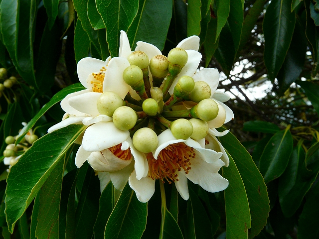 イジュの花3
