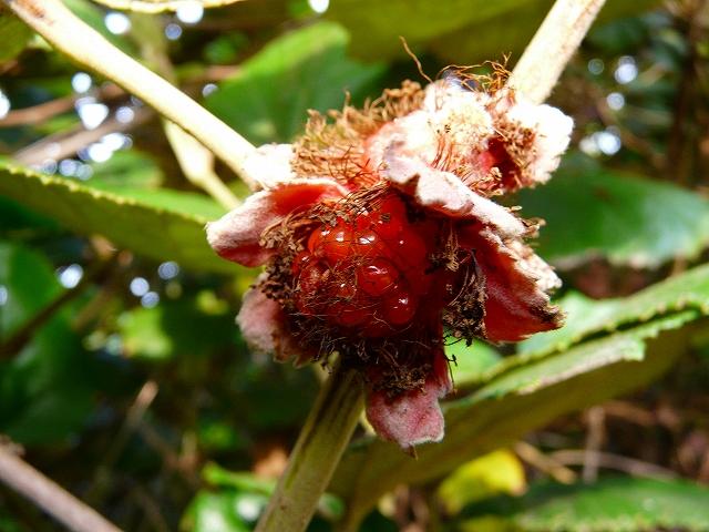 ホウロクイチゴの果実