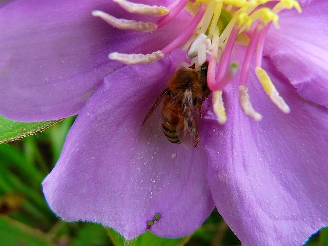 ノボタンの花にミツバチ