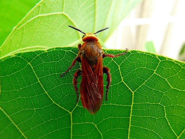 クロイワツチバチ 雌