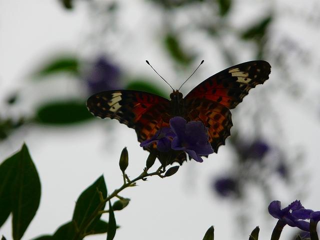 ツマグロヒョウモン(雌)