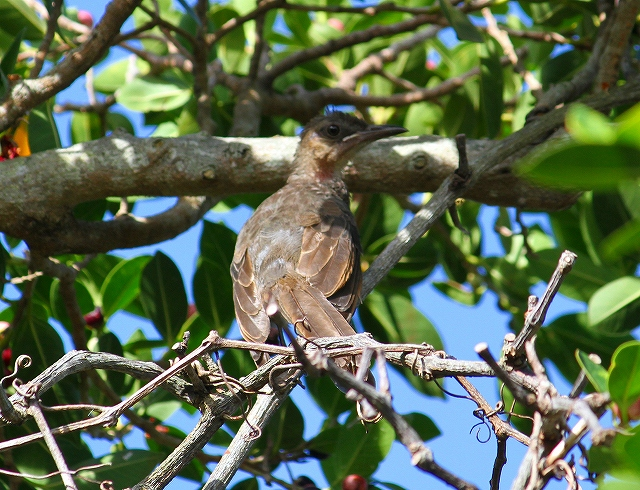 アマミヒヨドリの雛鳥