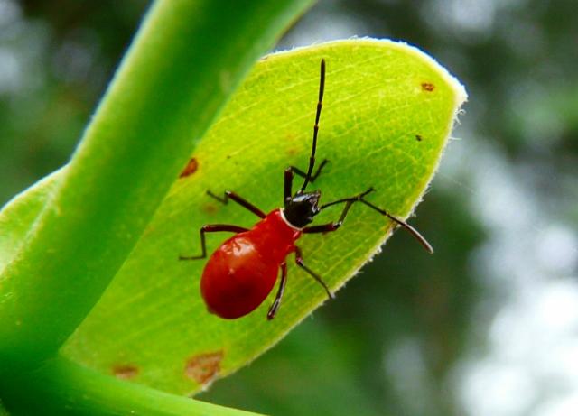 シロジュウジカメムシの幼虫1
