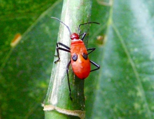 シロジュウジカメムシの幼虫2