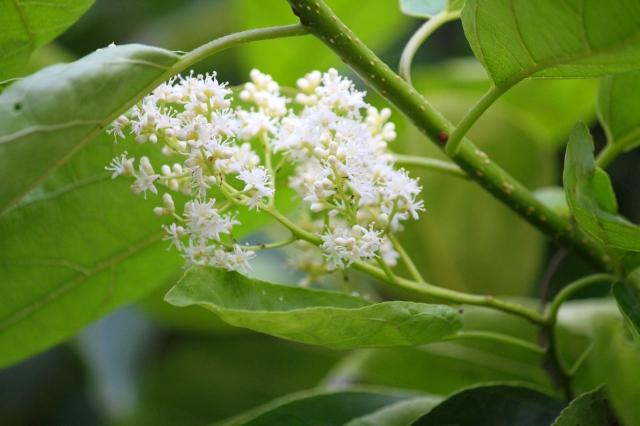 マルバチシャノキの花