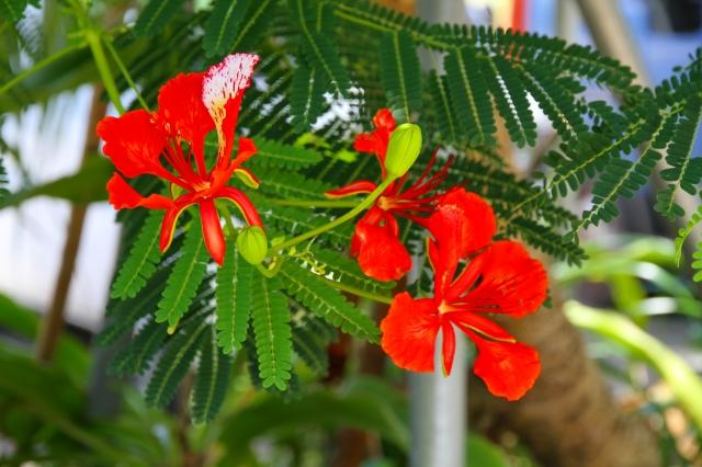 ホウオウボクの花