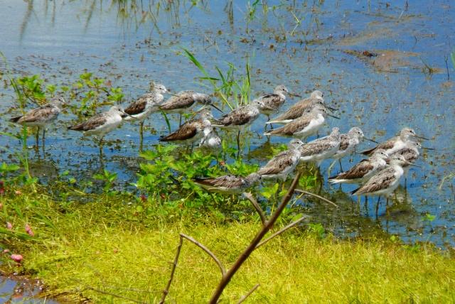 諸田池のアオアシシギたち
