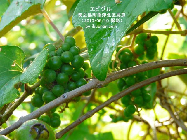 エビヅル(ヤマブドウ)