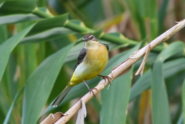 キセキレイ(冬羽)