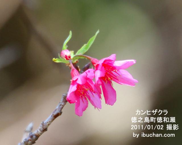 早咲きのカンヒザクラ1