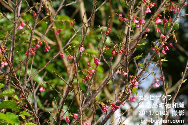 早咲きのカンヒザクラ2