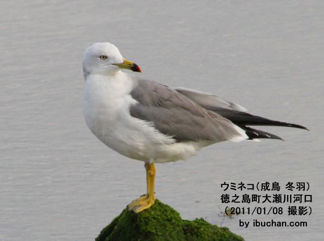 ウミネコ(成鳥 冬羽)