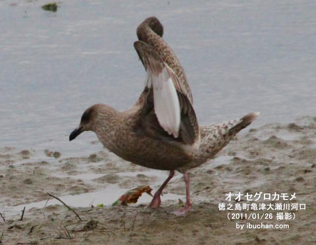 オオセグロカモメ(幼鳥)2