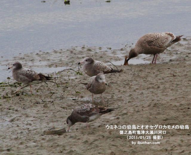 ウミネコの幼鳥とオオセグロカモメの幼鳥