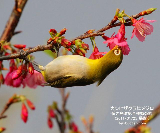 桜(寒緋桜)にメジロ