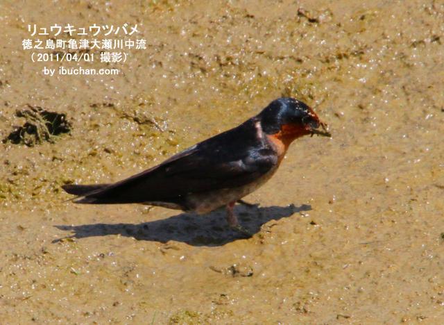 泥砂を食べるリュウキュウツバメ