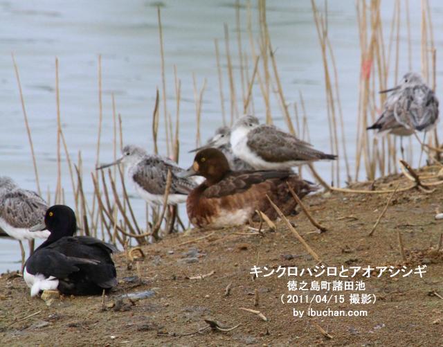 キンクロハジロとアオアシシギ