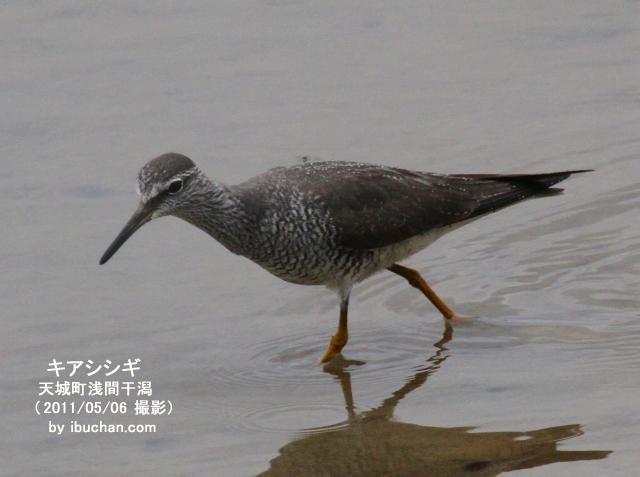 浅間干潟のキアシシギ