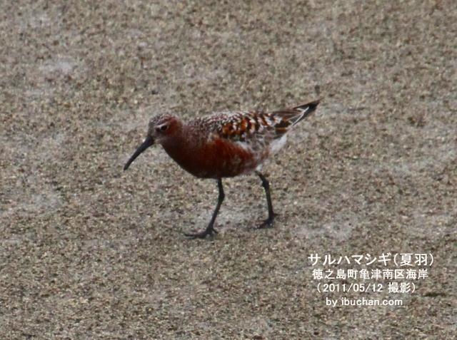 サルハマシギ(夏羽)