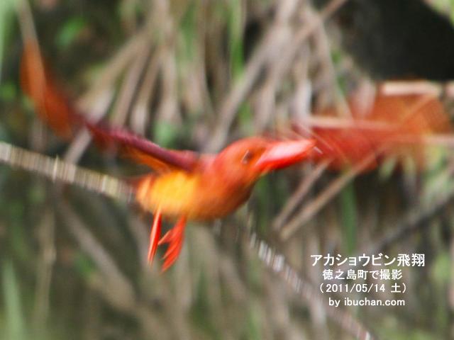 アカショウビンの飛翔
