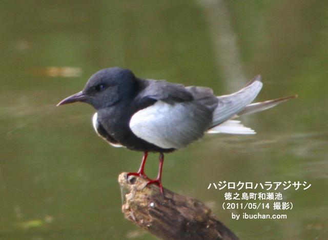 ハジロクロハラアジサシ(夏羽)