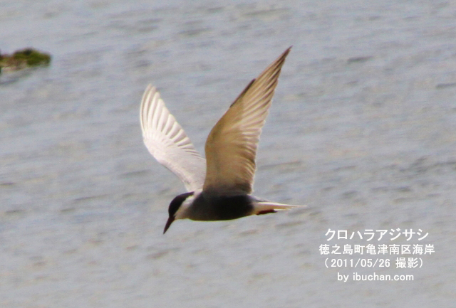 クロハラアジサシ(夏羽)