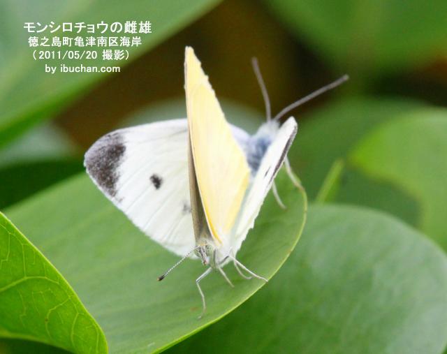 モンシロチョウの雌雄