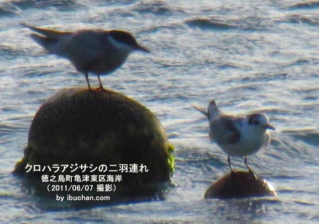 クロハラアジサシの成鳥と若鳥