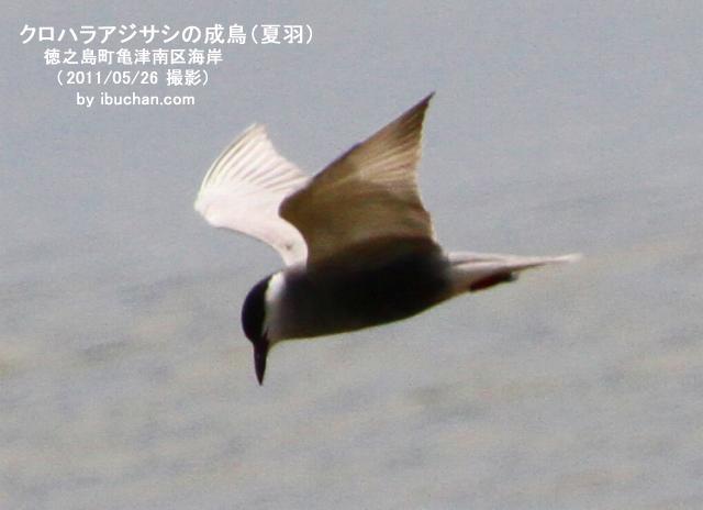 クロハラアジサシの成鳥(夏羽)