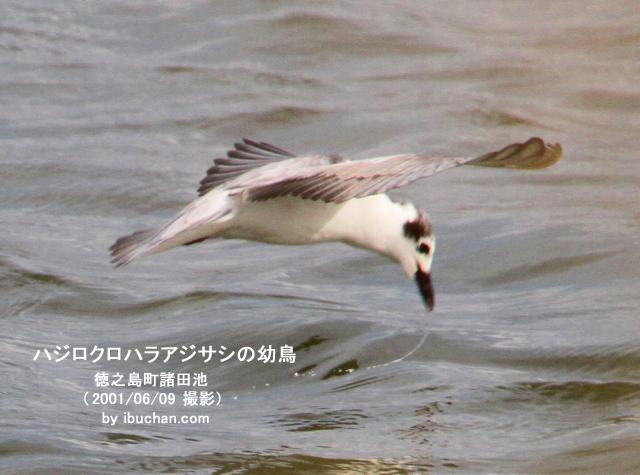ハジロクロハラアジサシの幼鳥