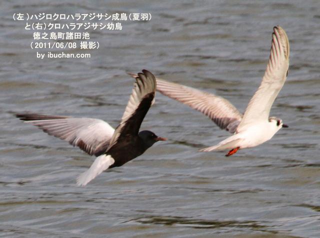 ハジロクロハラアジサシ成鳥(夏羽)とクロハラアジサシの幼鳥