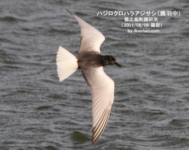 ハジロクロハラアジサシ(換羽中)
