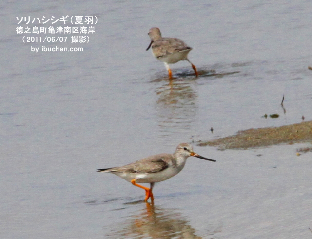 ソリハシシギ (夏羽)