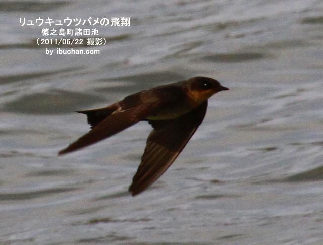 リュウキュウツバメの飛翔