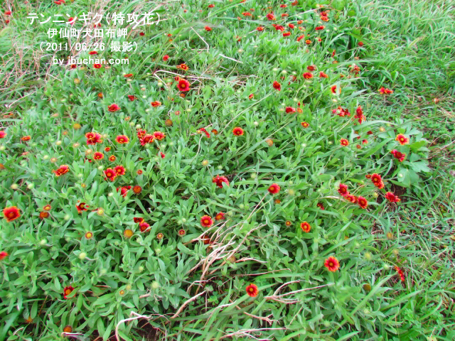 テンニンギク(特攻花)