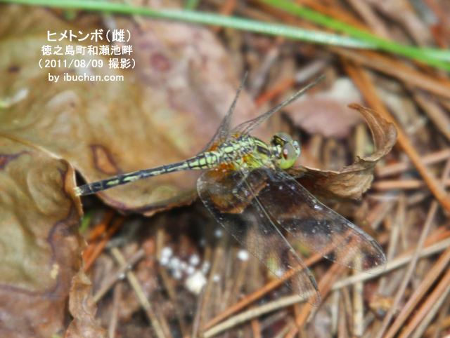 ヒメトンボ(雌)