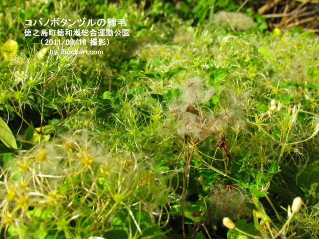 コバノボタンヅルの綿毛