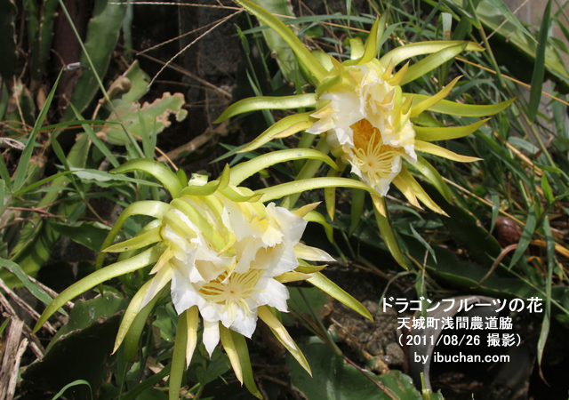ドラゴンフルーツの花