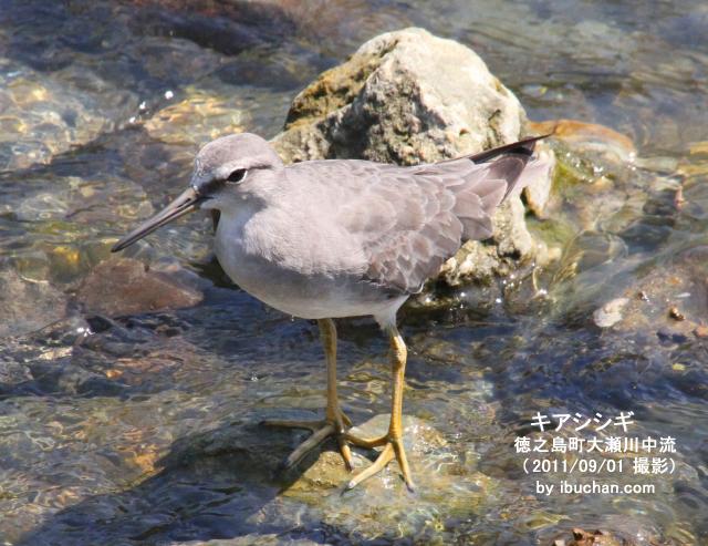 キアシシギ(夏羽)