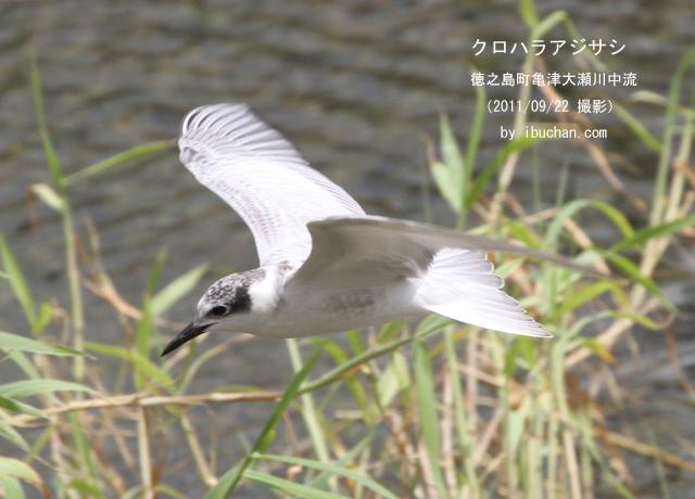 クロハラアジサシの幼鳥