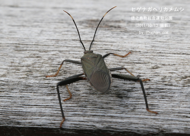 ヒゲナガヘリカメムシ