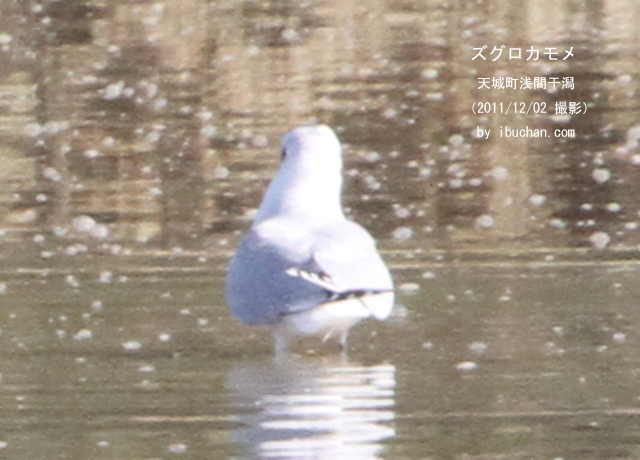 ズグロカモメ(冬羽)