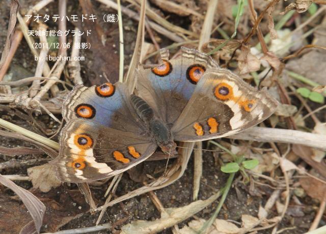 アオタテハモドキ(雌)
