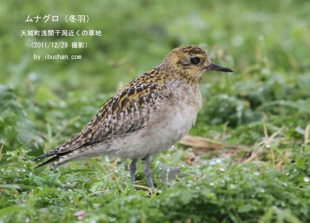 ムナグロ(冬羽)