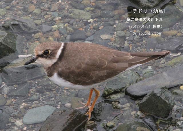 コチドリ(幼鳥)