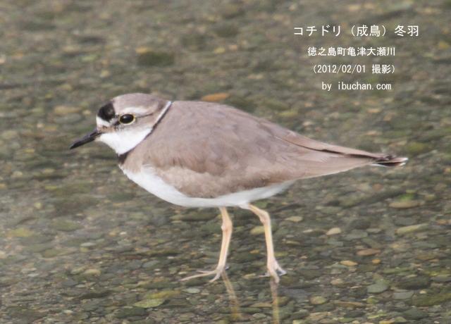 コチドリ 冬羽(成鳥)