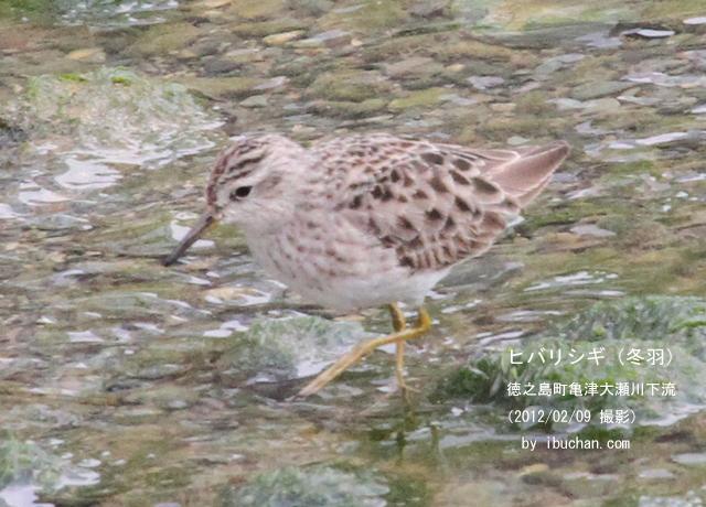 ヒバリシギ(冬羽)