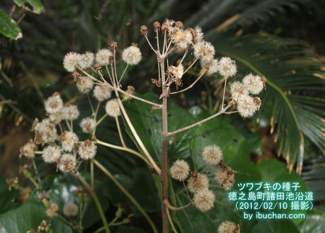 ツワブキの種子